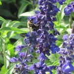 Bee_salvia_fair_2011