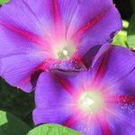 Morning_Glories_Fair_2011.jpg