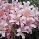 Surprise_Lillies_Fair_2011.jpg