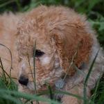 Ollie_oliver_puppy