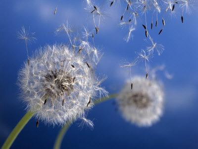 blow-dandelions.jpg