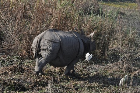 Rhino at Kaziranga