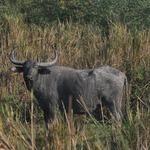 Gaur at Kaziranga