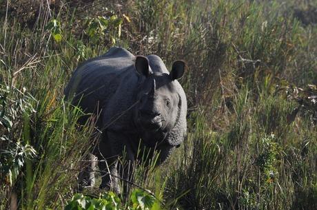 Rhino at Kaziranga