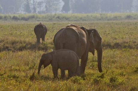 Elephants at Kaziranga
