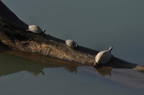 Tortoise at Kaziranga