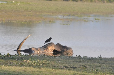 Carcass at Kaziranga