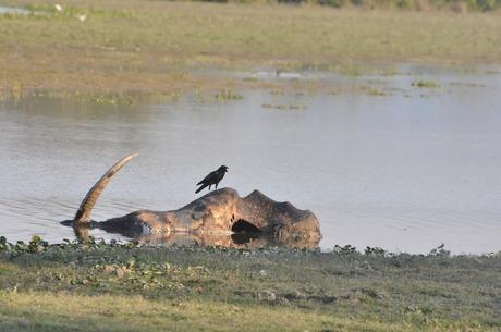Carcass at Kaziranga