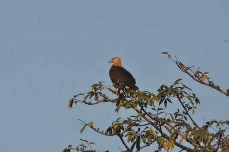 Vulture at Kaziranga