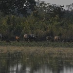 Buffalo herd at Kaziranga