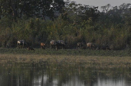 Buffalo herd at Kaziranga