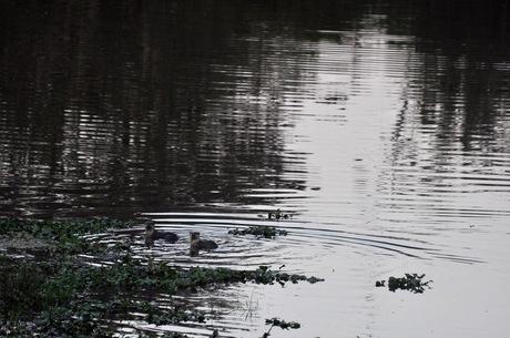 Otters at Kaziranga
