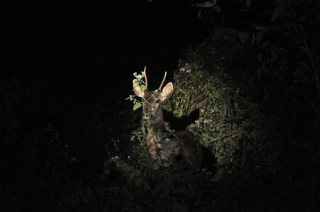 Stag at Manas Tiger Reserve
