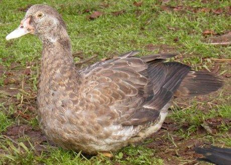 12 week old bronze duckling