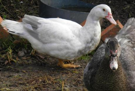 12 week old fume barred muscovy
