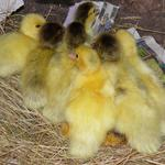 bronze and bronze barred ducklings day 1