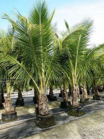 Coconut_palm