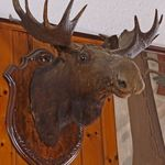 Bull_Moose.jpg