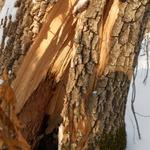 Cracked Tree Trunk