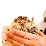 Nestle the Hedgehog