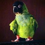 Adopting a Parrot