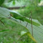 Grasshoper settle on a green leave