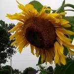 Sunflowerjpg
