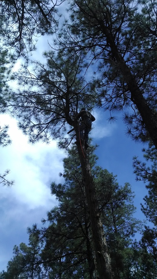 Daniel in the tree