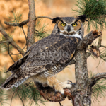Great_horn_owl