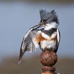 Belted_kingfisher_glamor
