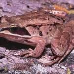 Wood_frog