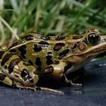 Northern-leopard-frog