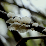 White_tree_mushrooms