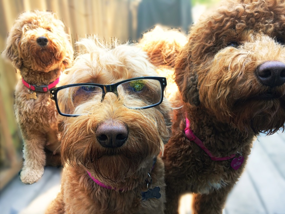 About us - Silver Creek Goldendoodles