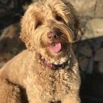 Loretta- Mini Australian Labradoodle