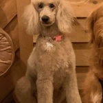 Sofia- Small Standard Poodle