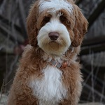 Mitchell- Mini Multigen Australian Labradoodle