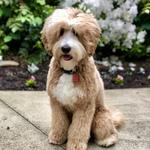 LeRoy- Mini MultiGen Goldendoodle