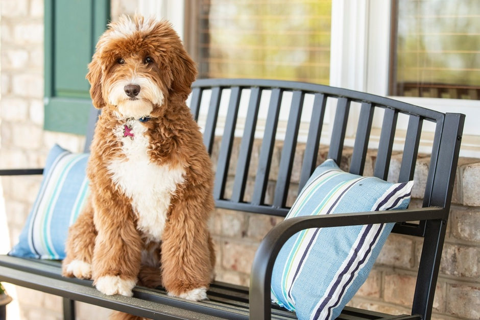 About Us Silver Creek Goldendoodles