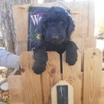 Poodles_oct_17_001