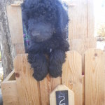 Poodles_oct_17_010