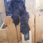 Poodles_oct_17_014