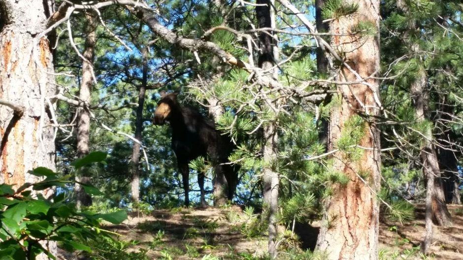 da moose.jpg