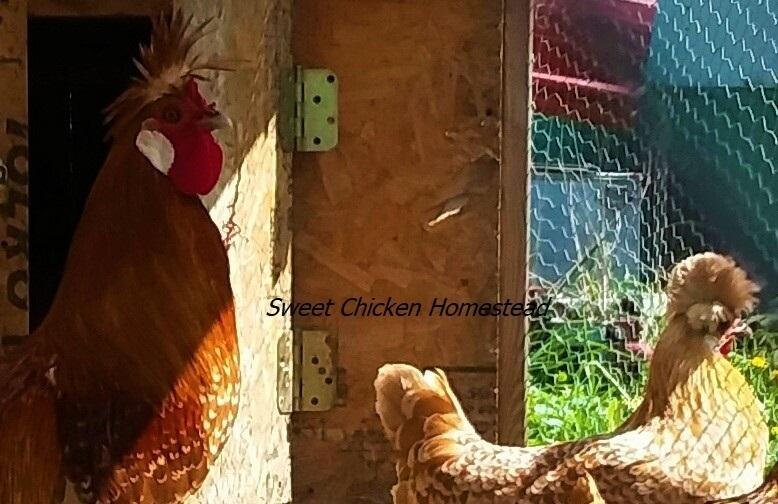 Appenzeller Spitzhauben Sweet Chicken Homestead