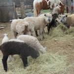 Sheep_008
