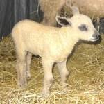 Sheep_041