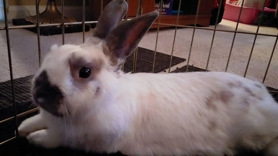 Former foster bunny Dale in his temporary home last summer. Isn't he a cutie?!