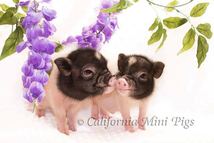 CA mini pigs
