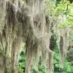 Charleston Spanish Moss