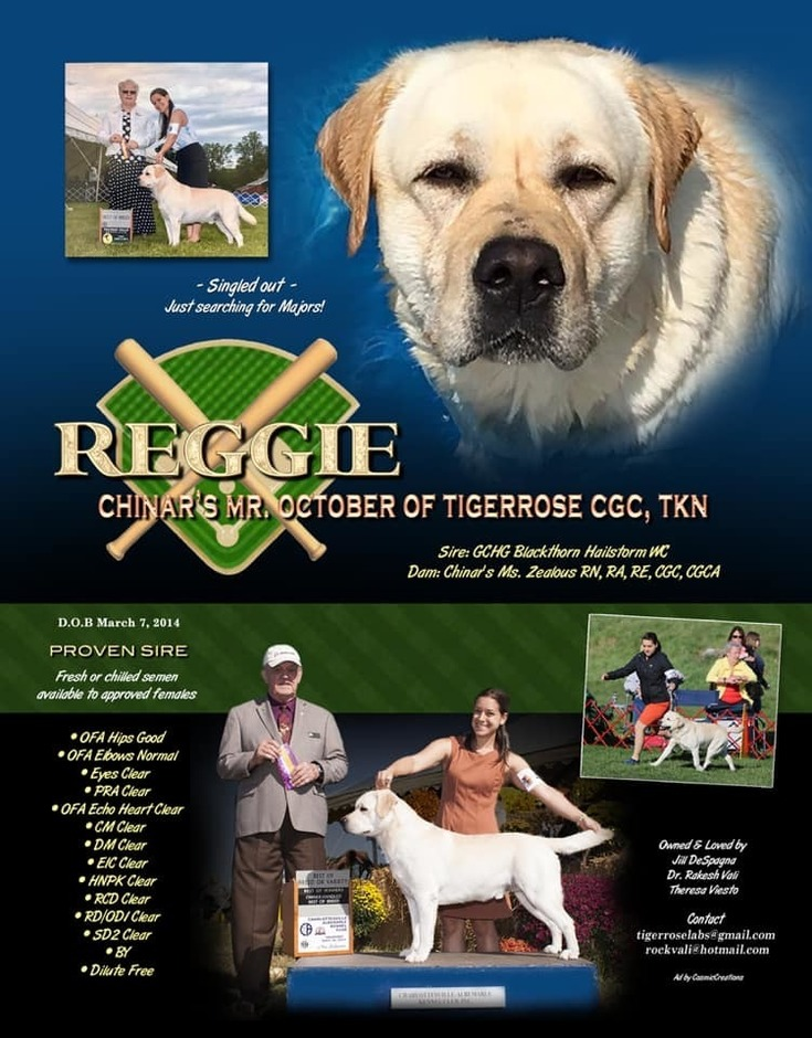 About Us - Tiger Rose Labradors